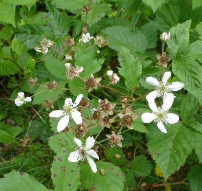 Rubus flagellaris.Matthew L. Wagner.Robert W. Freckmann Herbarium.U. Wisconsin at Stevens Point.wisplants.uwsp.edu