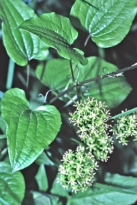 Smilax pulverulenta..©Gary P. Fleming..www.vaplantatlas.org.2014. Virginia Botanical Associates