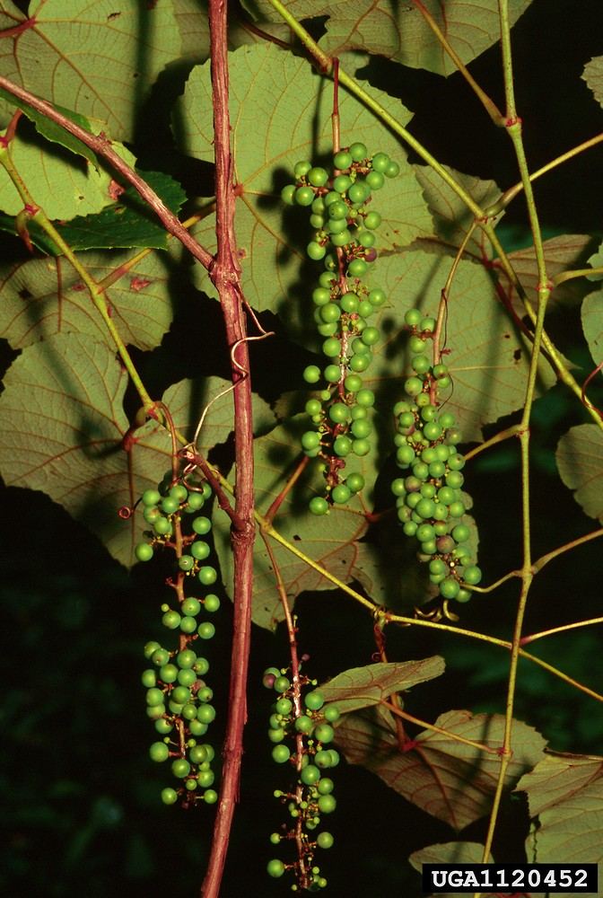 Vitis aestivalis. By Ted Bodner. Copyright © 2015 CC BY-NC 3.0.www.bugwood.org