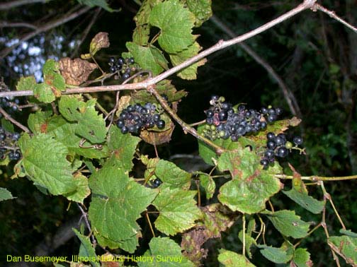 Vitis vulpina.Dan Busenmeyer.Illinois Natural History Survey.wwx.inhs.illinois.edu