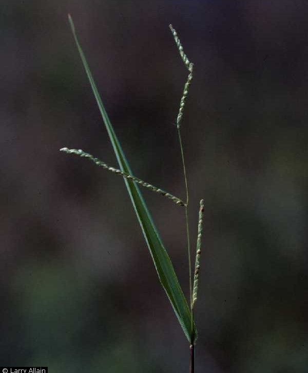 Paspalum setaceum.Larry Allain @ USDA-NRCS PLANTS Database