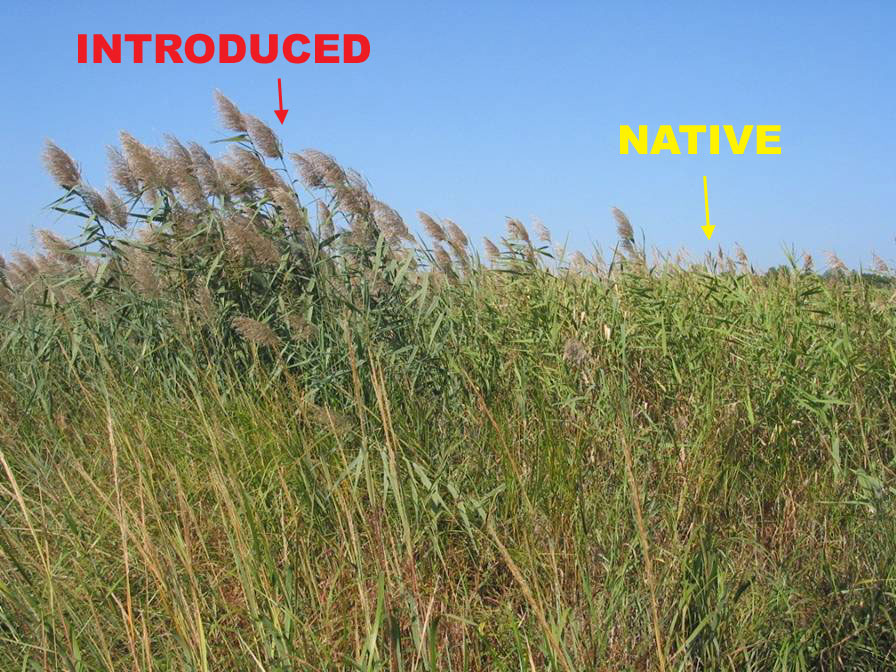 Phragmites australis.PCA Alien Working Group.www.nps.gov
