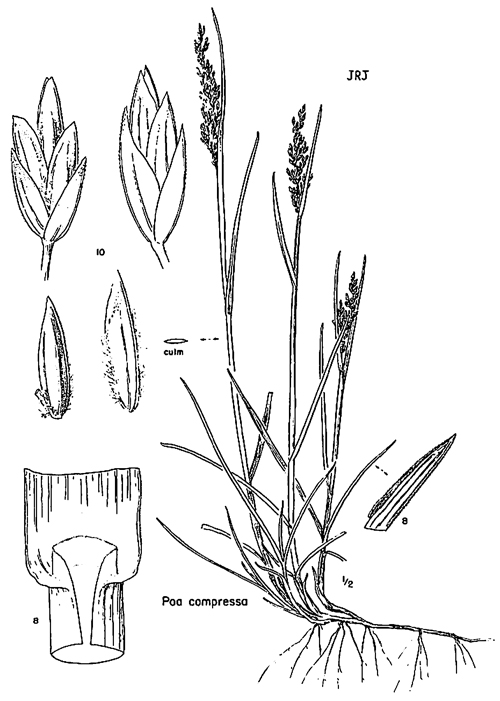 Poa compressa. Cronquist, et al.1977. Intermountain Flora. vol. 6, The New York Botanical Garden, New York. redbuttecanyon.net