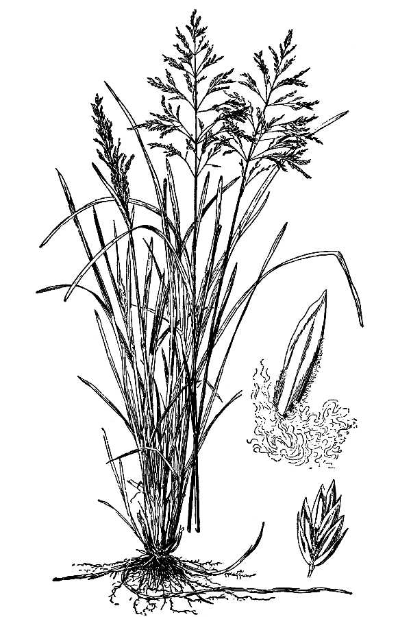 Poa pratensis.USDA-NRCS PLANTS Database.Hitchcock, A.S. (rev. A. Chase). 1950. Manual of the grasses of the United States. USDA Miscellaneous Publication No. 200. Washington, DC