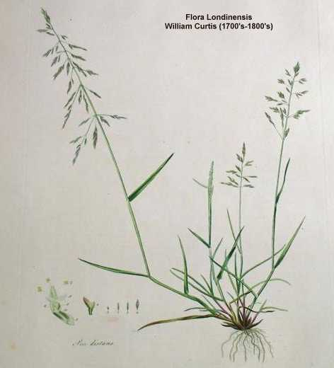 Puccinellia distans.Robert W. Freckmann Herbarium.University of Wisconsin at Stevens Point.wisplants.uwsp.edu