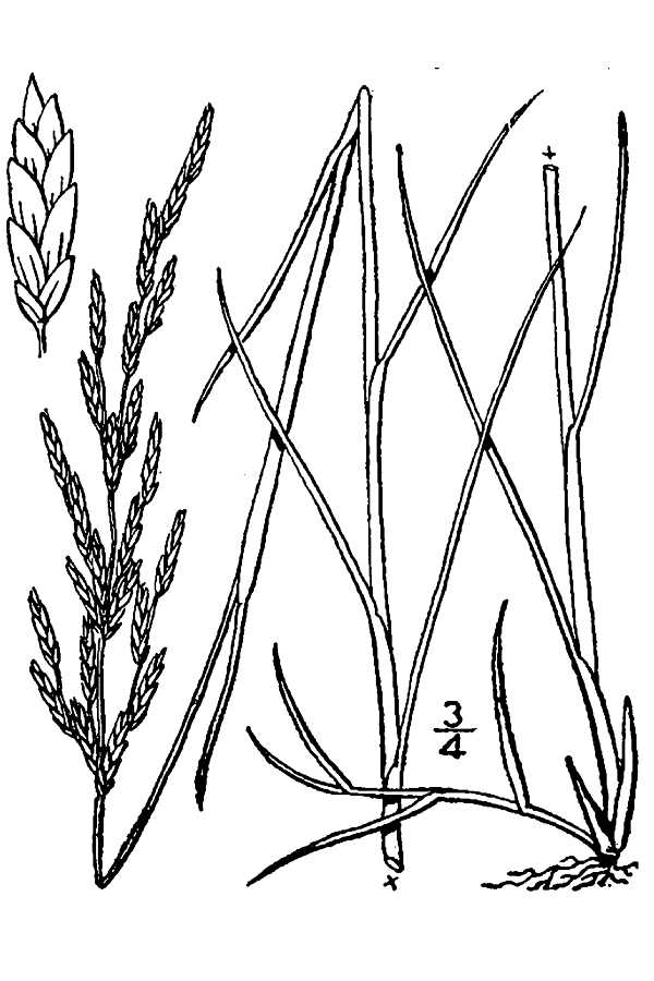 Puccinellia maritima.USDA-NRCS PLANTS Database.Britton, N.L., and A. Brown. 1913. An illustrated flora of the northern United States, Canada and the British Possessions.