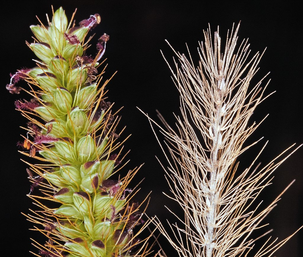 Setaria gracilis.bristles and inflorescence.Dr. Gerald D. Carr.botany.hawaii.edu