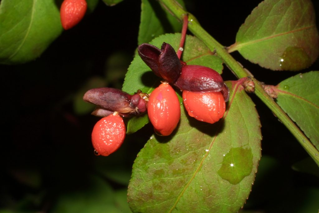 euonymus-alata-fruit-woodyplants-wdfiles-com