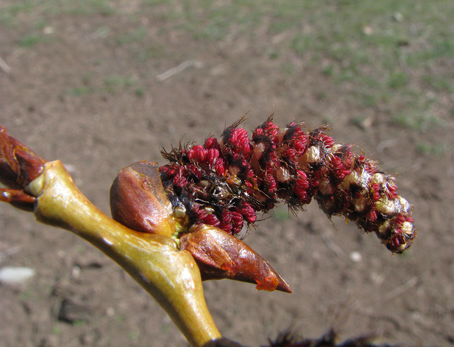 Populus sp. male flower buds expanding.tetonplants.org