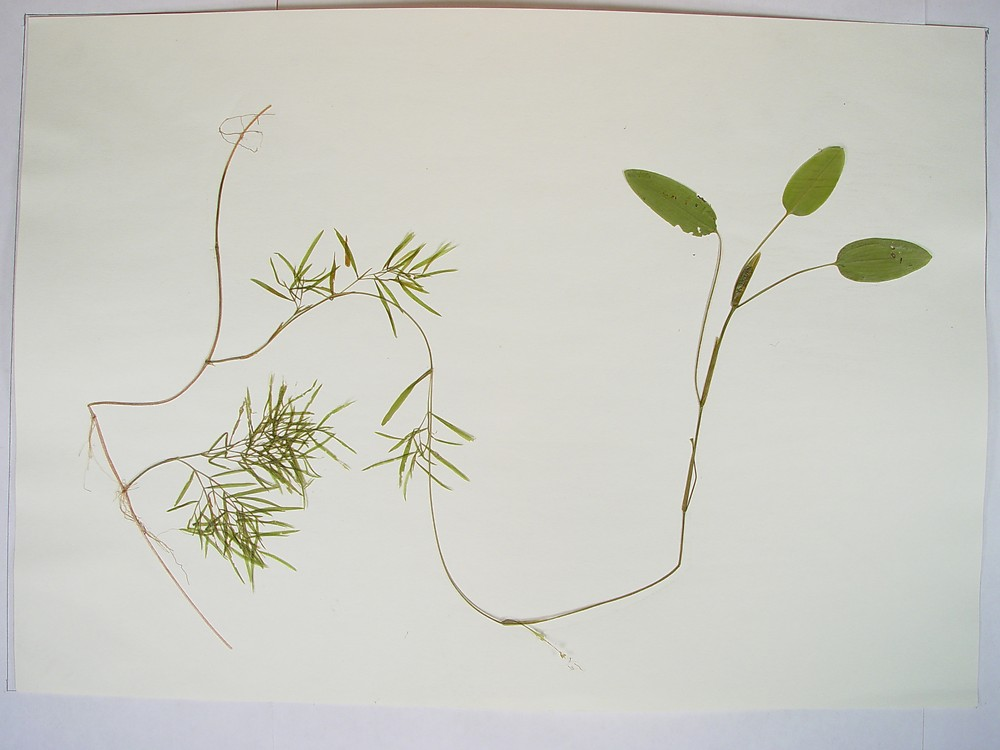 Potamogeton gramineus. below water and surface leaves.By Donald Cameron. Copyright © 2016 Donald Cameron.New England Wild Flower Society.gobotany.newenglandwild.org
