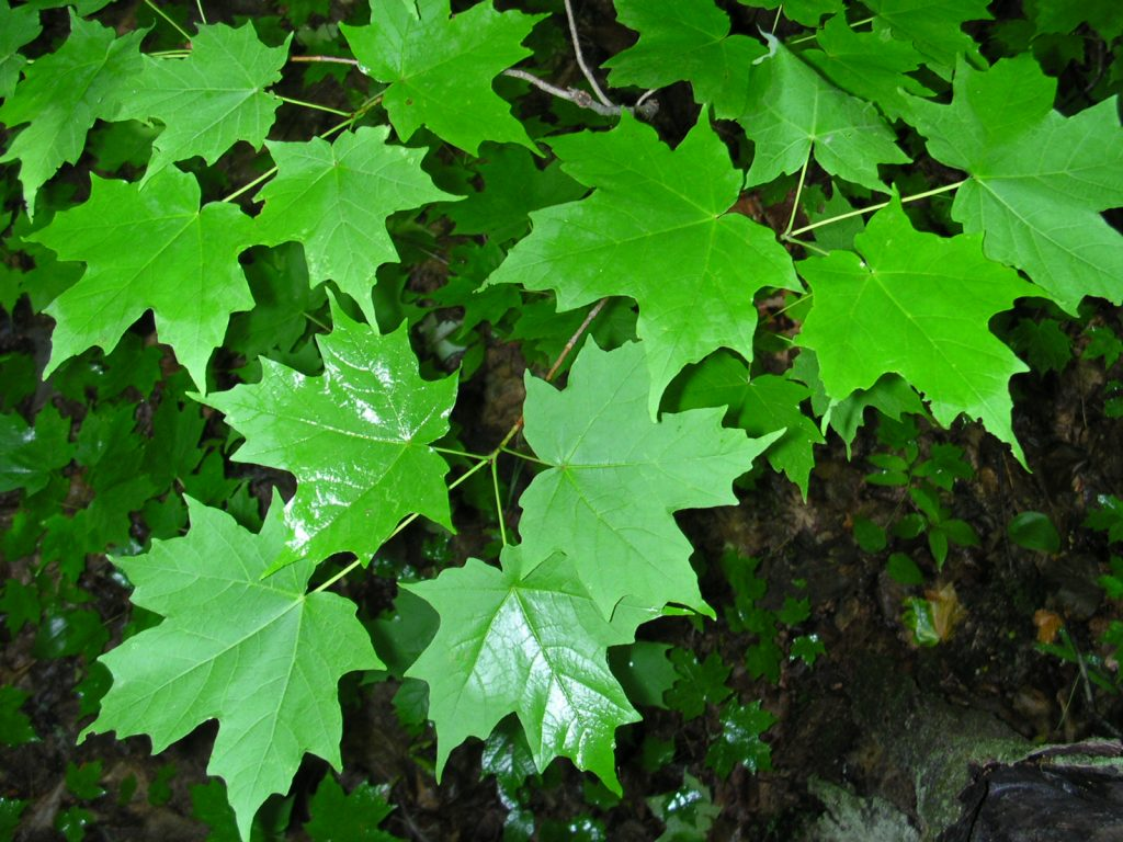 Acer saccharum.commons.wikimedia.org