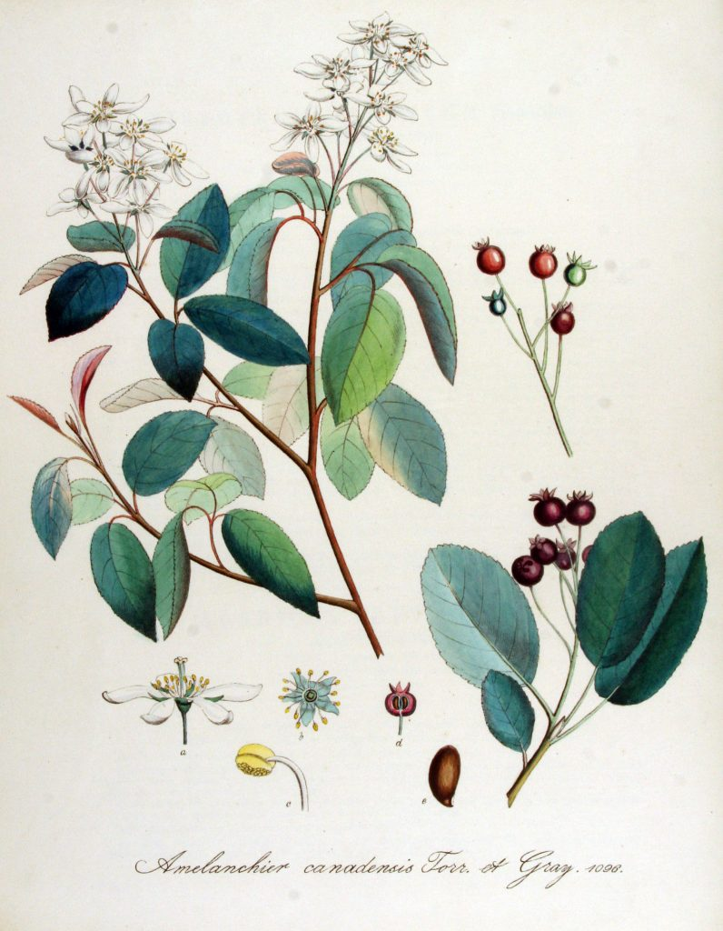 amelanchier-canadensis-commons-wikipedia-org