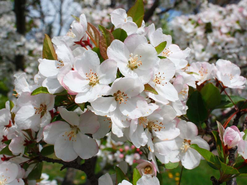 Malus hupehensis (tea crabapple).flowers. © Red Planet Inc. cirrusimage.com