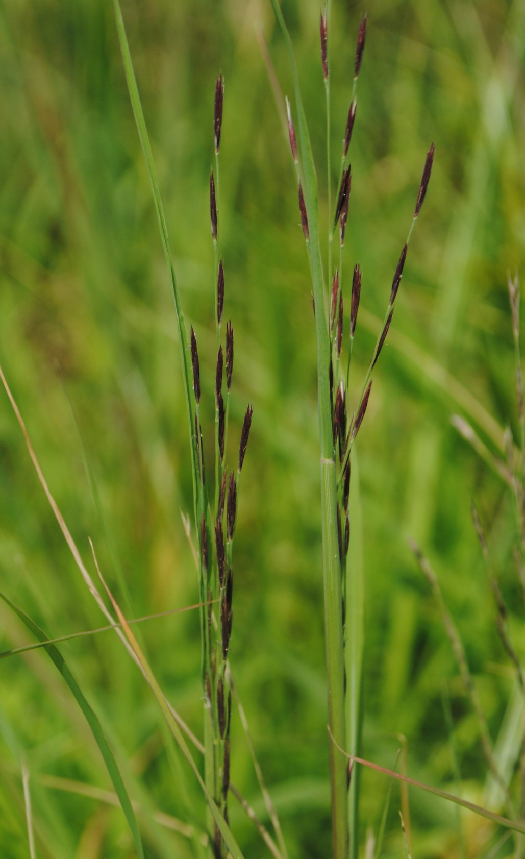 Diplachne fusca ssp. fascicularis (Salt-meadow Grass). Zihao Wang.